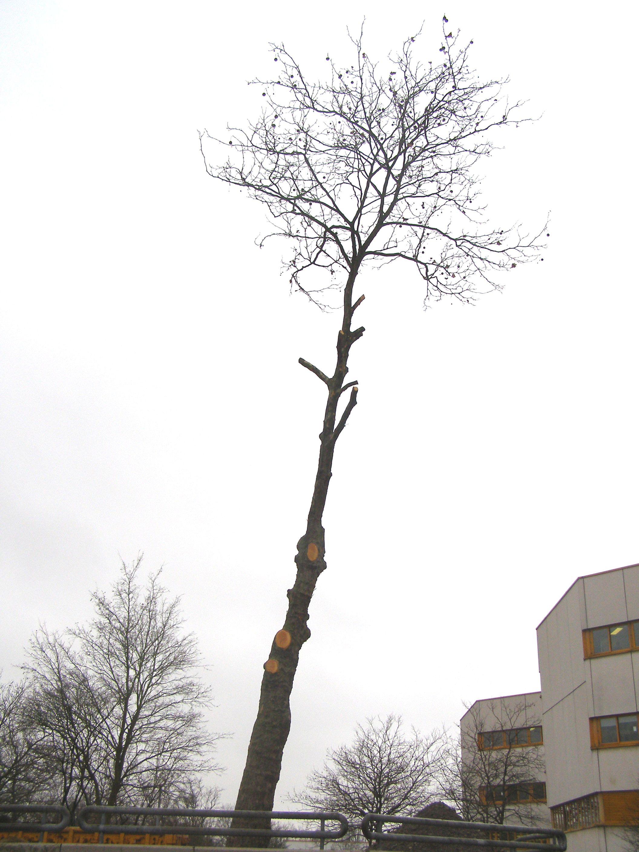 Schlanker Baum